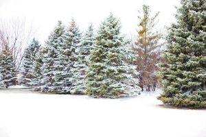 pine-trees-1265120_640